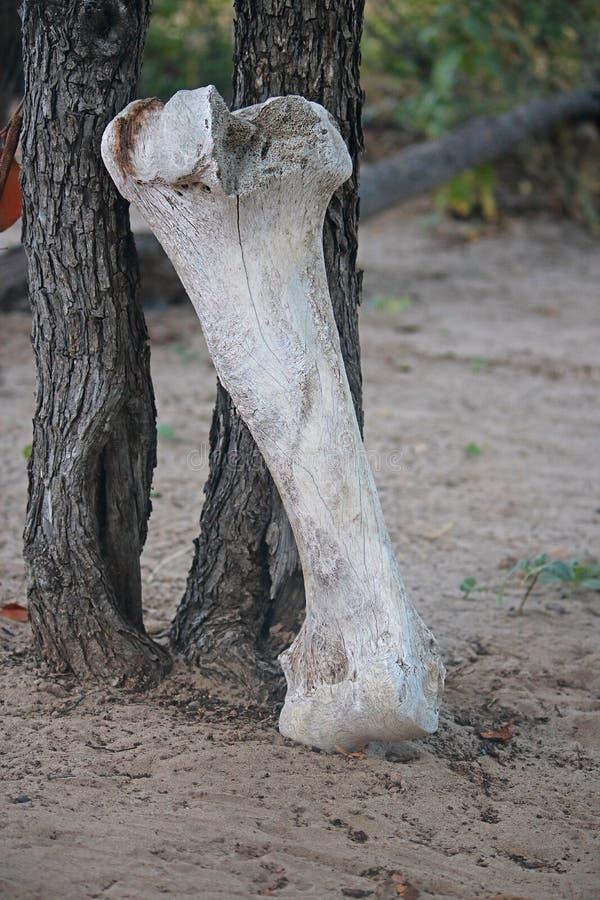 从非洲大象骨骼的被漂白的骨头 图库摄影