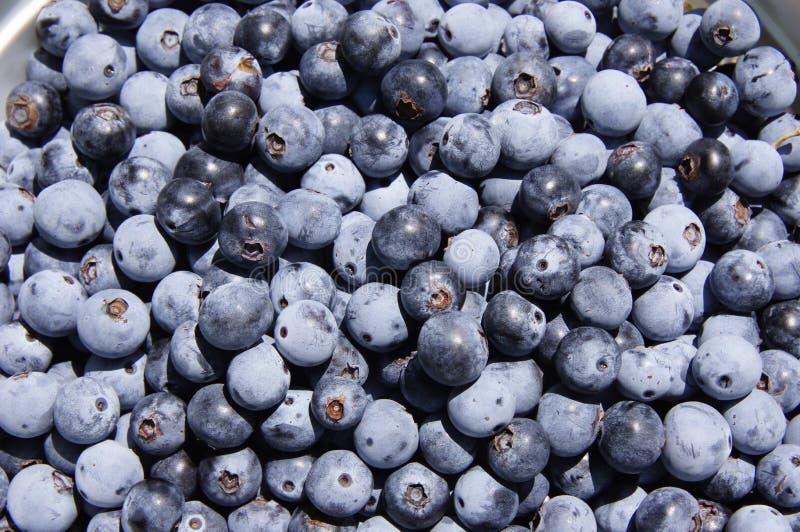 从领域的新鲜的蓝莓 库存图片