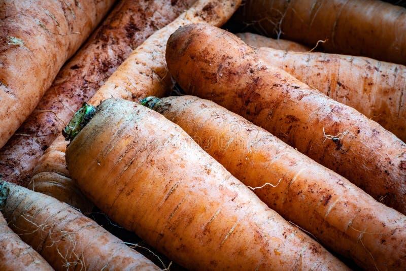 从领域的红萝卜与土土壤和没有叶子 图库摄影