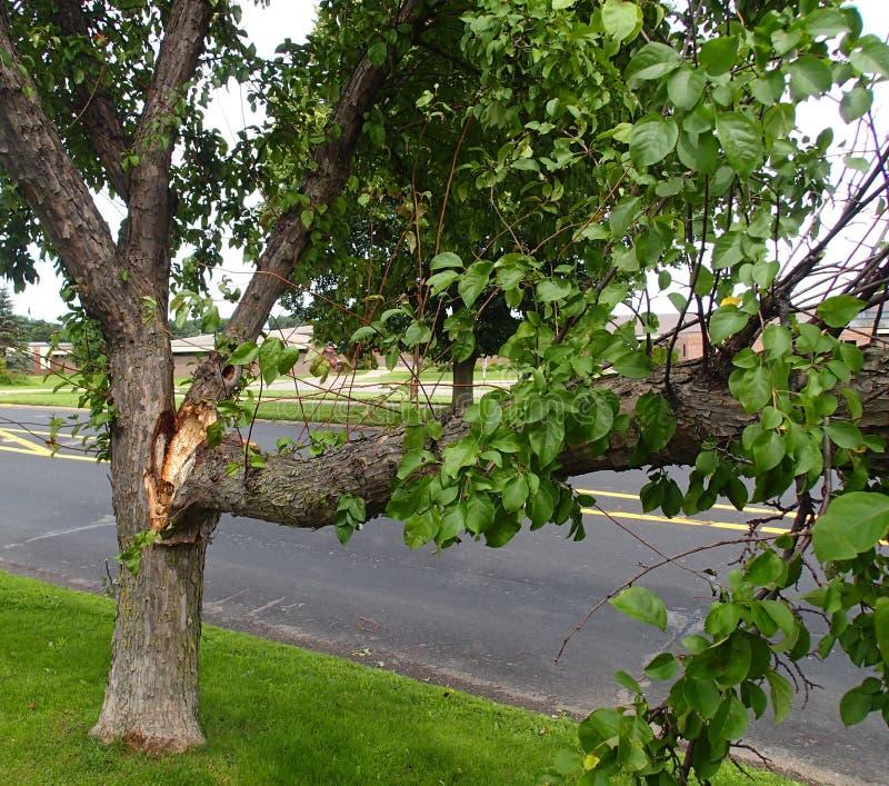 从风暴的残破的树 库存图片