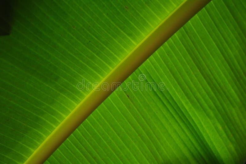 从香蕉事假的绿色 免版税库存照片