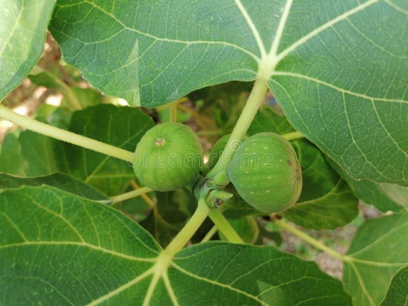 从黑塞哥维那的果子 库存图片