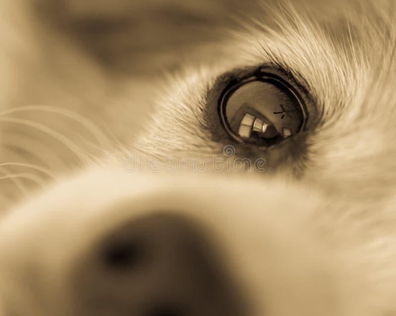 从鼻子观看的狗的眼睛单色特写镜头 图库摄影