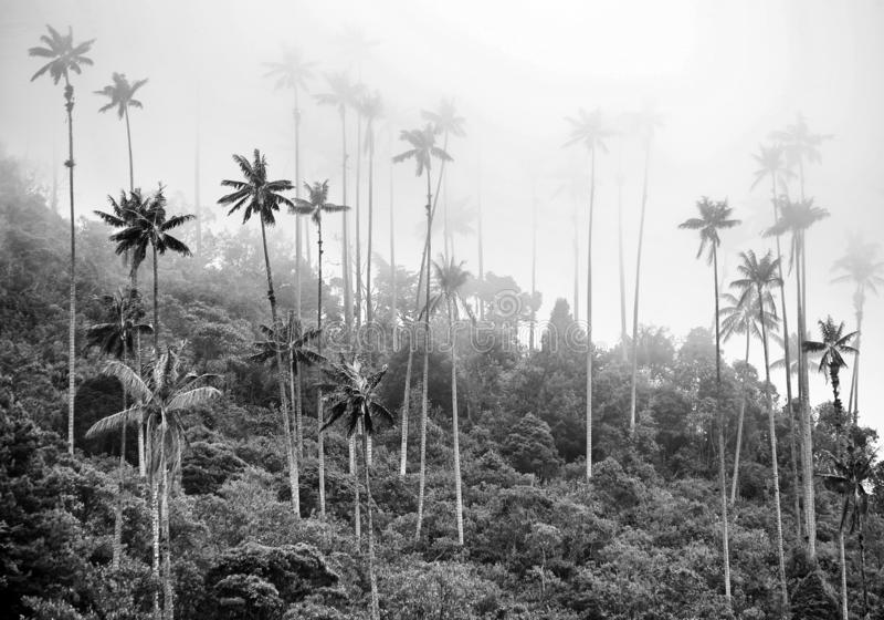 从Cocora谷的蜡榈树是全国树、哥伦比亚的标志和World's最大的棕榈 库存照片