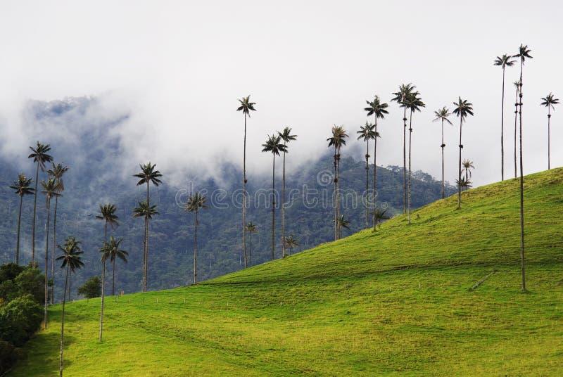 从Cocora谷的蜡榈树是全国树、哥伦比亚的标志和World's最大的棕榈 图库摄影