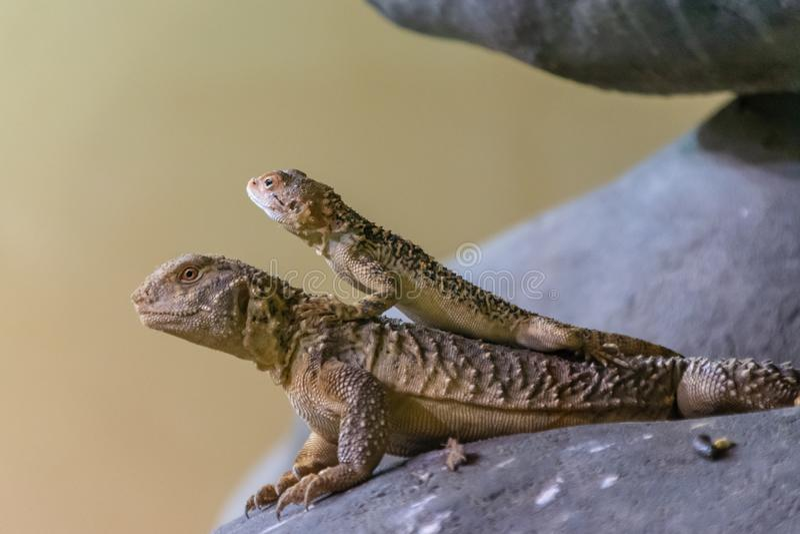 从Lanthanotidae家庭的两无耳,多刺,边blotched和有角的蜥蜴在布拉格动物园,捷克里 库存照片