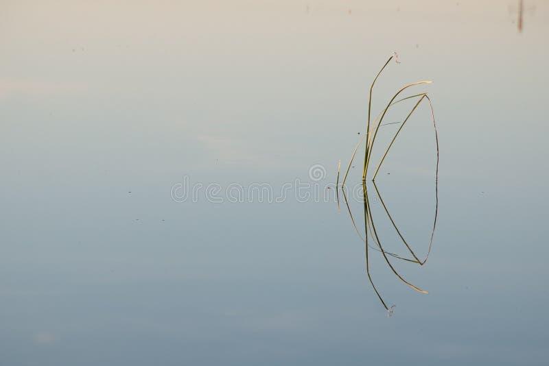 仓促的特写镜头与它的反射的在水在Albufera盐水湖,在Albufera自然公园,巴伦西亚,西班牙 免版税库存图片