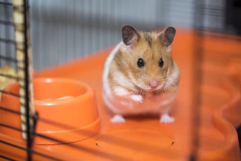 仓鼠有存在主义的危机在笼子 免版税图库摄影