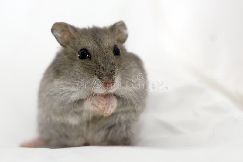 仓鼠祈祷 免版税图库摄影