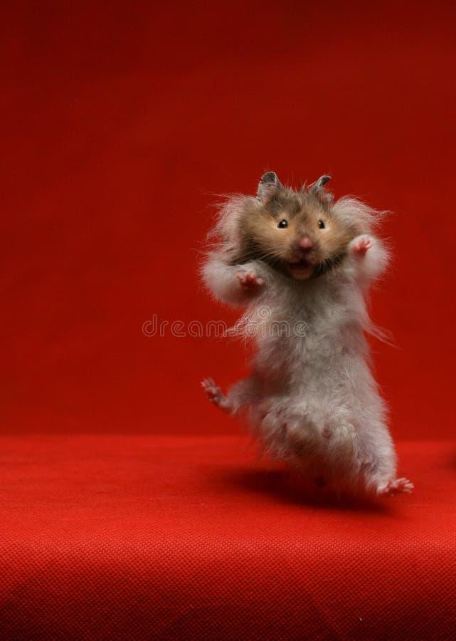 仓鼠跳跃的老鼠 库存照片