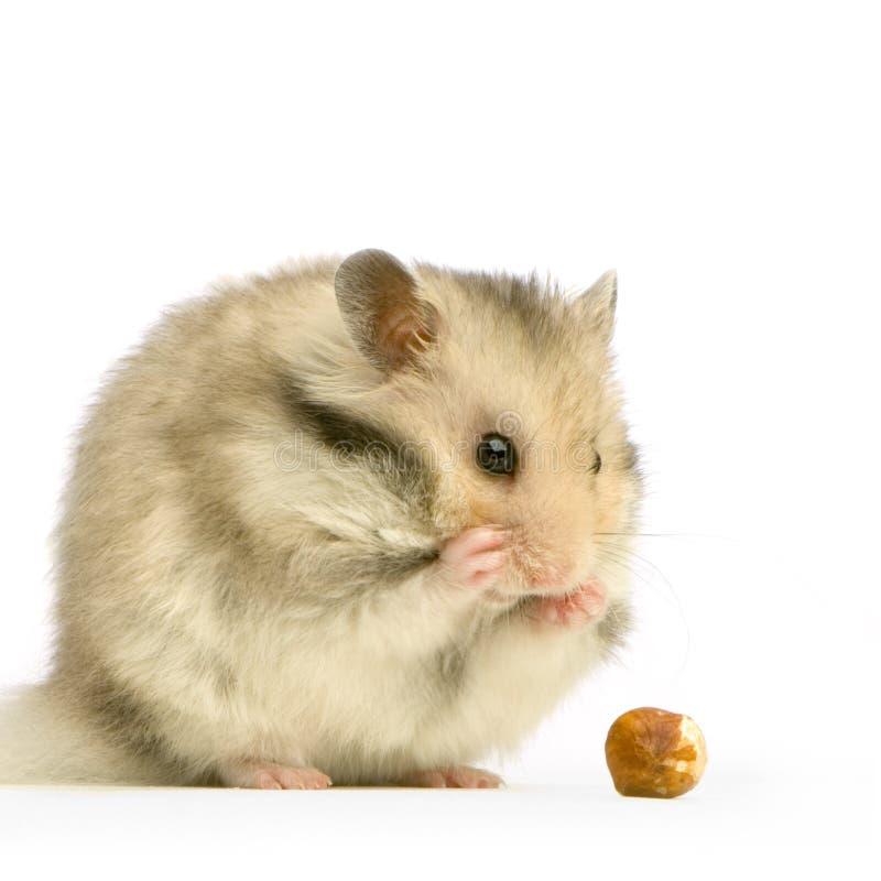 仓鼠 免版税库存照片