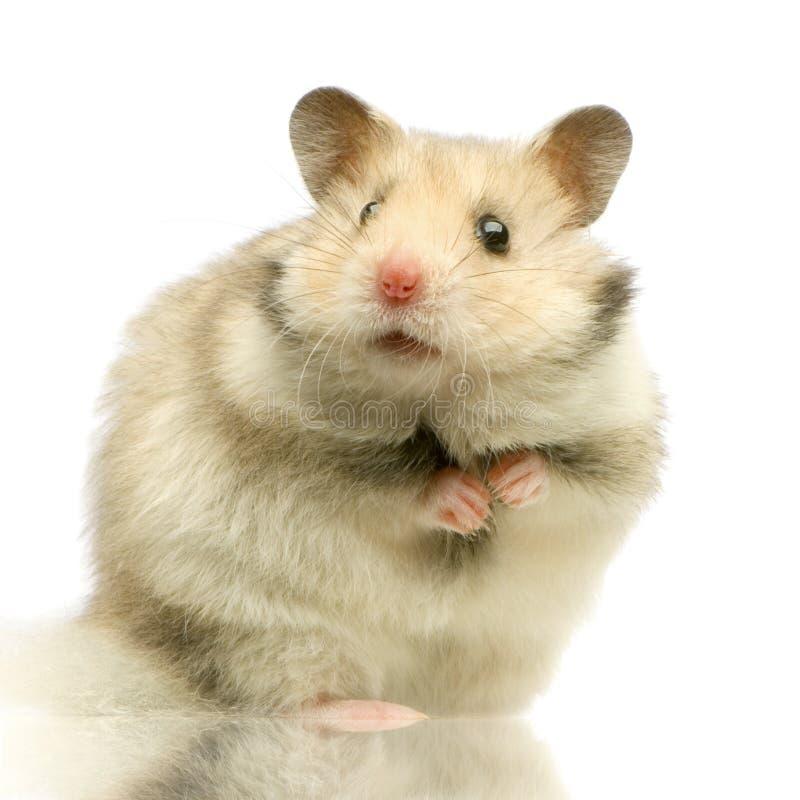 仓鼠 免版税库存图片