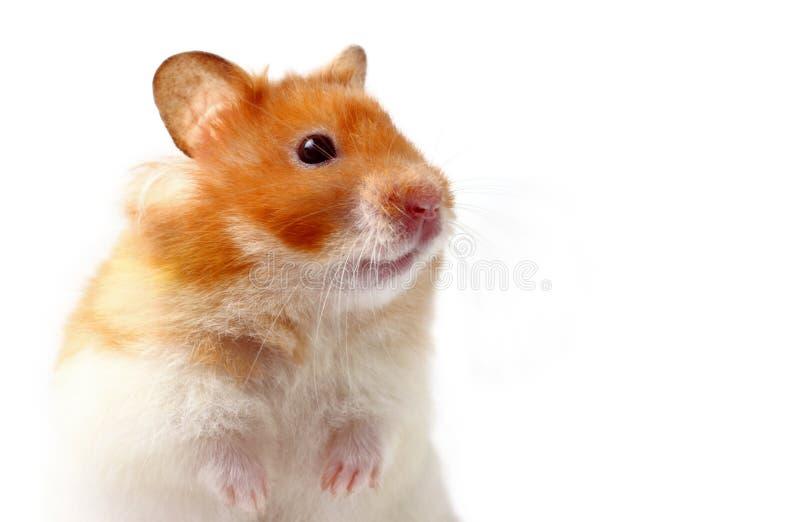 仓鼠lara 库存照片