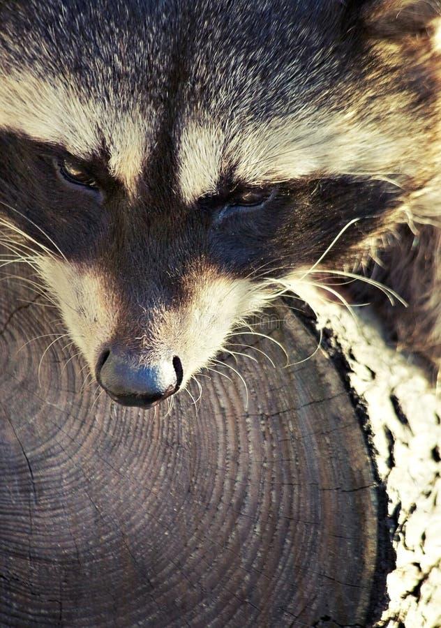 他的一起浣熊结构树 免版税库存照片