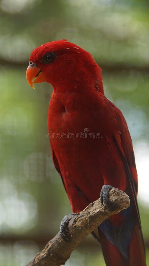 他红色鹦鹉Eos bornea是鹦鹉的种类在家庭Psittaculidae的 免版税库存图片