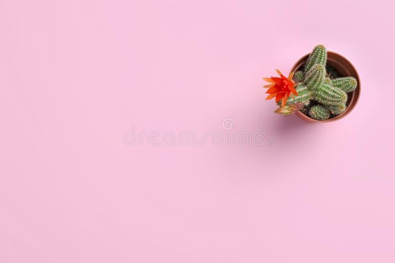仙人掌与美丽的红色花的Echinopsis chamaecereus在颜色背景,顶视图的罐 免版税库存照片