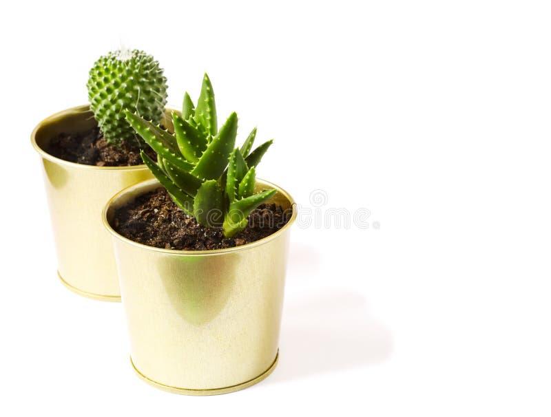 仙人掌和多汁植物在白色背景隔绝的罐的 免版税库存照片