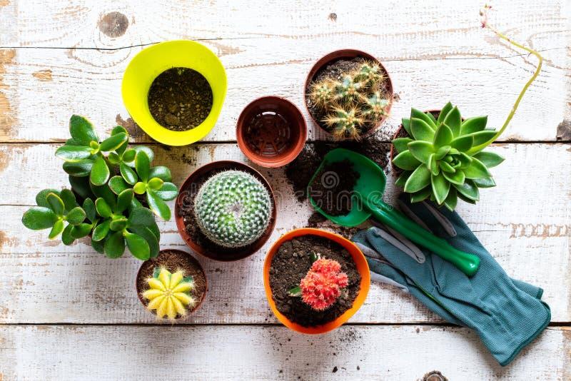 仙人掌和多汁植物房子植物背景 各种各样的房子植物、从事园艺的手套、盆栽土和修平刀的汇集 免版税库存照片