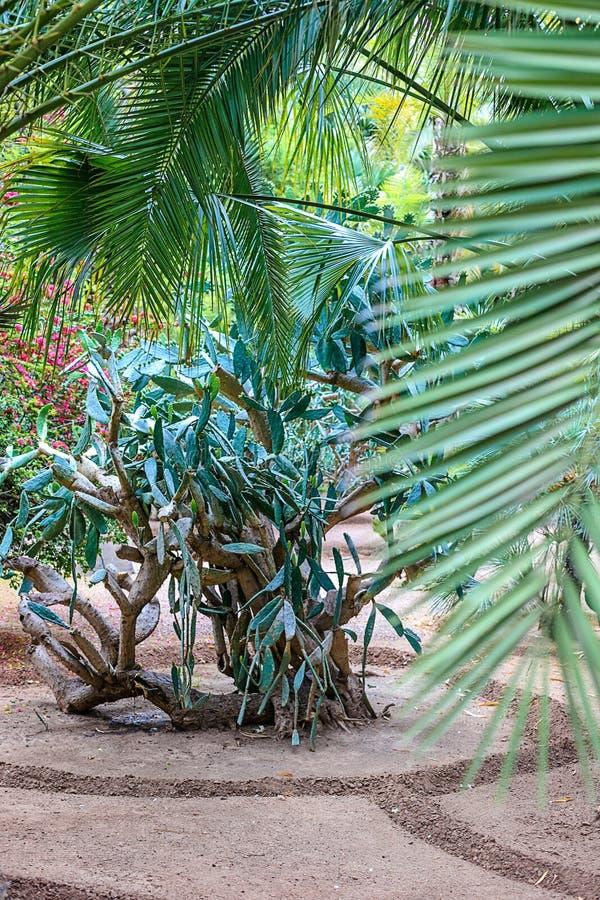 仙人掌和棕榈树在一自然环境在一个公园在Marakesh E 免版税库存图片