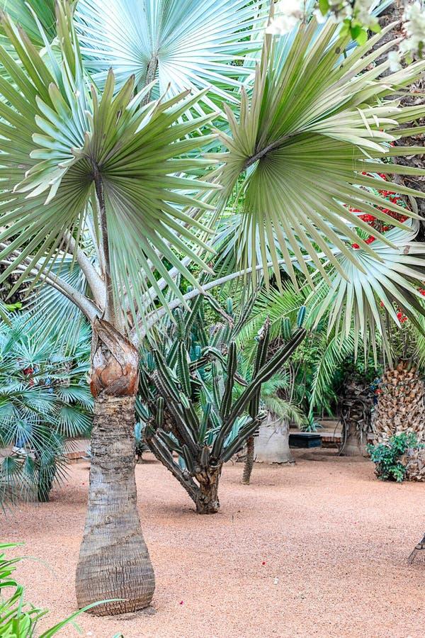仙人掌和棕榈树在一自然环境在一个公园在Marakesh E 库存图片