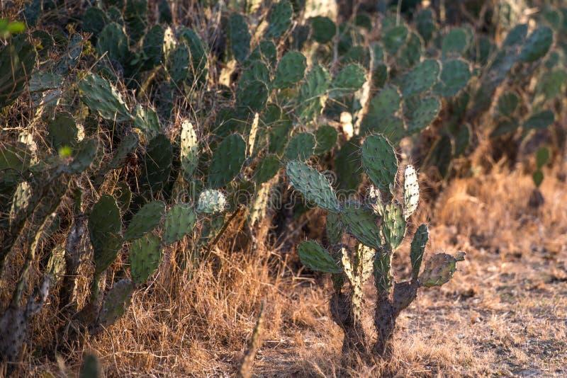 仙人掌在沙漠 免版税库存图片