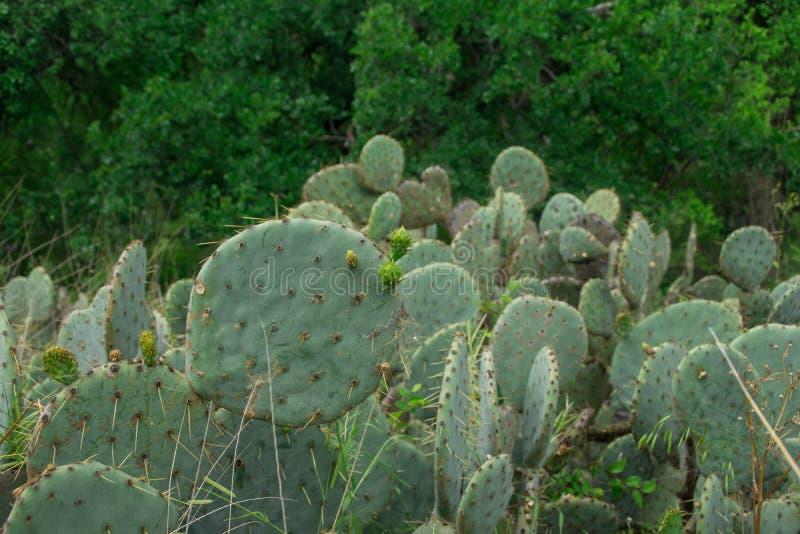 仙人掌在着魔岩状态自然地区,得克萨斯 免版税库存图片