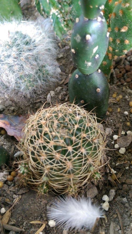 仙人掌多汁植物植物 免版税库存照片