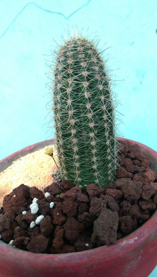 仙人掌多汁植物植物 库存图片