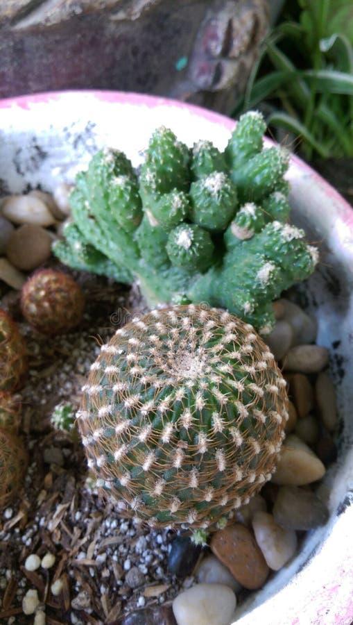仙人掌多汁植物植物 库存照片