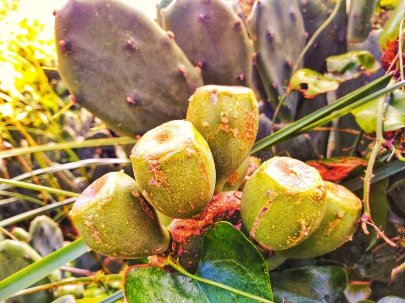 仙人掌果子 图库摄影