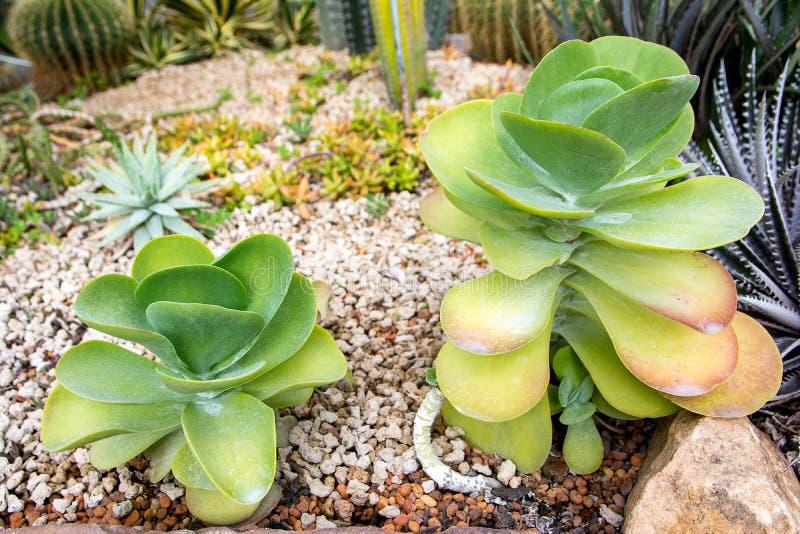 仙人掌桨植物,景天科Kalanchoe thyrsiflora,沙漠圆白菜plant7 免版税库存照片