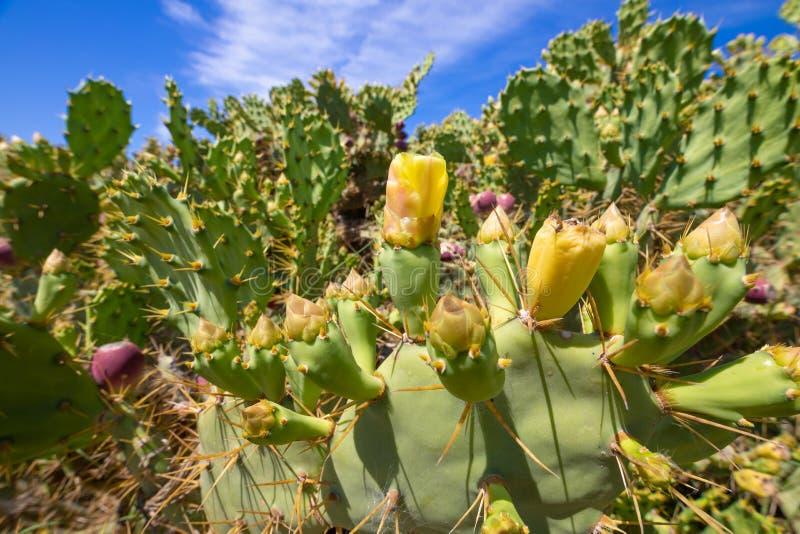 仙人掌梨或胭脂仙人掌与花和果子 免版税库存图片