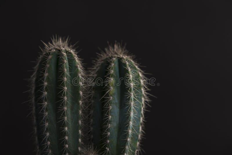 仙人掌植物技巧黑背景的 免版税库存图片