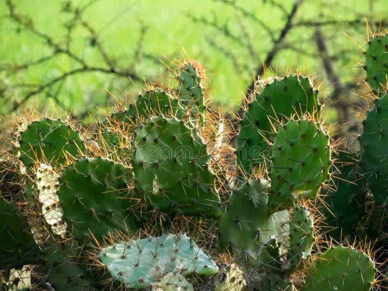 仙人掌植物特写镜头  库存照片