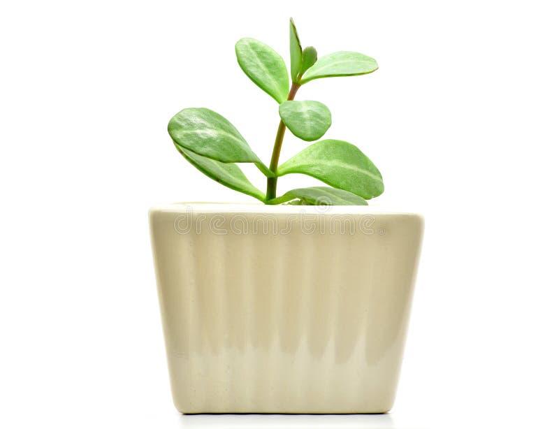 仙人掌植物装饰和interia的罐孤立 库存图片
