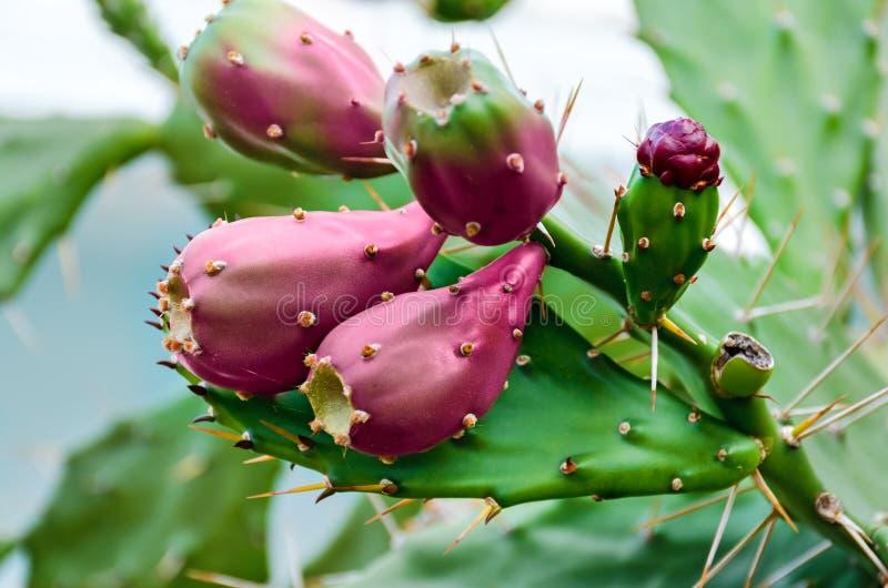 仙人掌水果成熟 库存图片