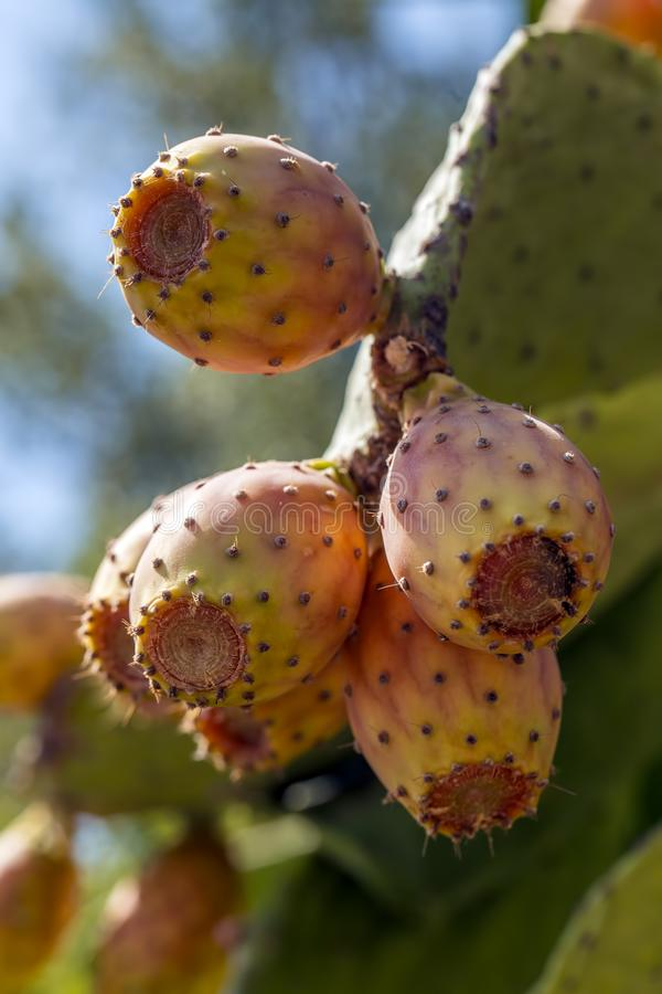 仙人掌用丰富的自然有机果子 库存图片