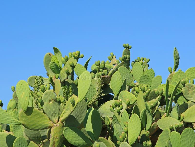 仙人掌用在蓝天前面的果子与拷贝空间 免版税库存图片