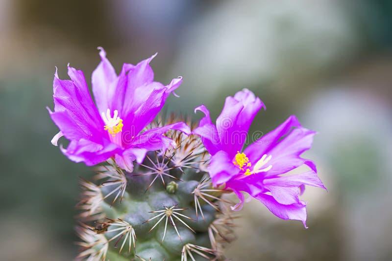 仙人掌紫色花是明亮多刺的 库存图片