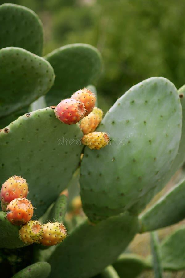 仙人掌结果实多刺胭脂仙人掌的梨 库存照片