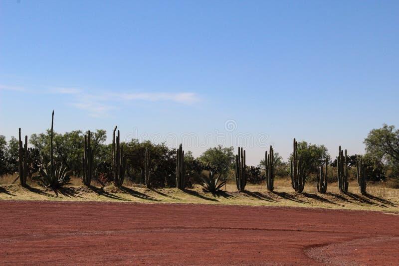 仙人掌花在沙漠排队 免版税图库摄影