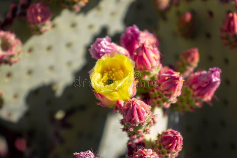 仙人掌花在沙漠 免版税库存图片