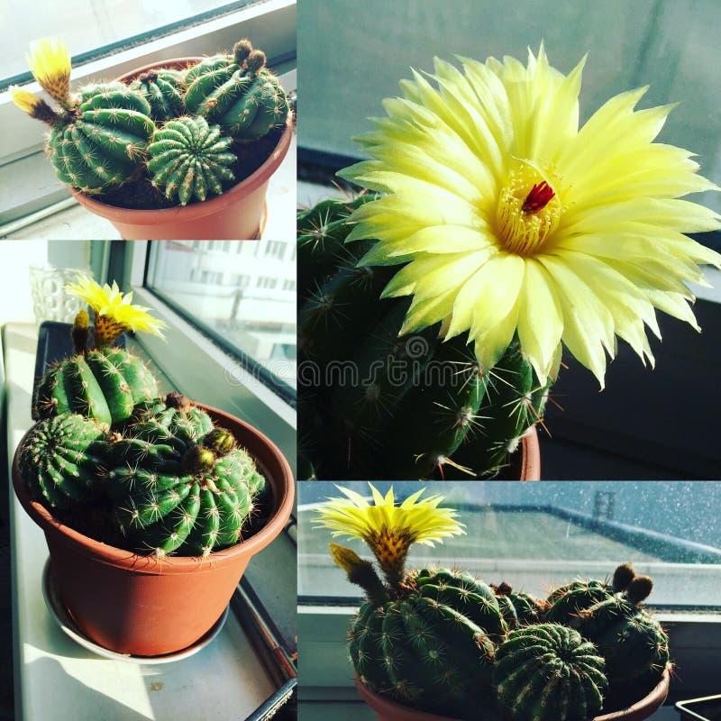 仙人掌花植物拼贴画黄色 库存照片
