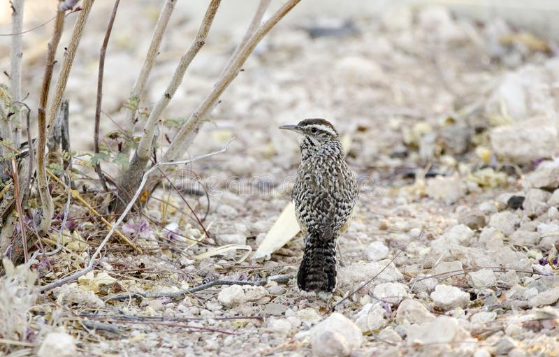 仙人掌鹪鹩鸟,图森亚利桑那地面蛇沙漠 库存照片
