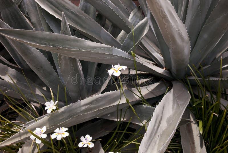 仙人掌龙舌兰和野花场面 库存照片