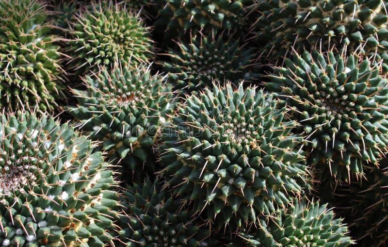 仙人掌,有绿色叶子的植物 免版税库存图片