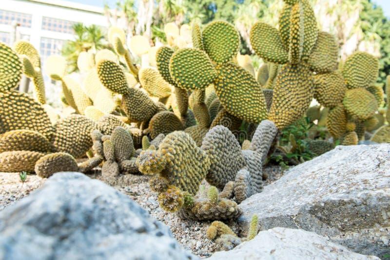 仙人掌Microdasys在植物园里卡利亚里,撒丁岛,它 库存图片