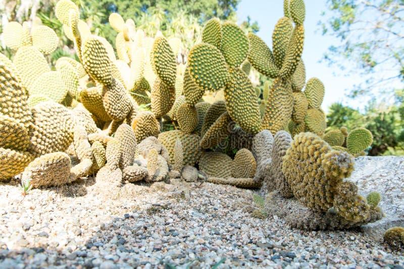 仙人掌Microdasys在植物园里卡利亚里,撒丁岛,它 免版税库存图片