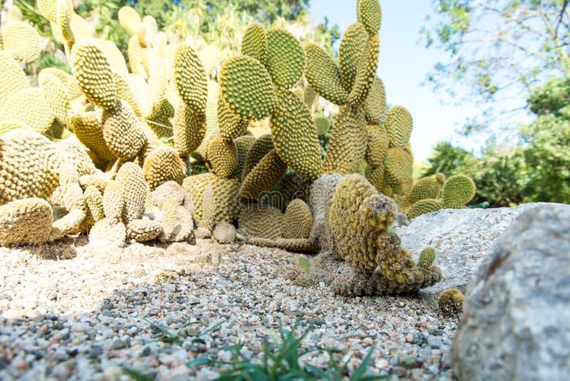 仙人掌Microdasys在植物园里卡利亚里,撒丁岛,它 免版税库存照片