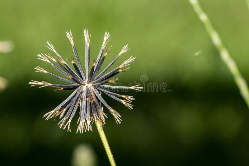 仙人球播种极端接近,鬼针草属pilosa种子宏指令照片 免版税图库摄影